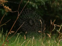 Spider's web on Sark, Channel Islands, early morning
